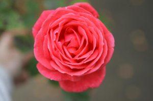 Unbekannte Rose Nr. 2