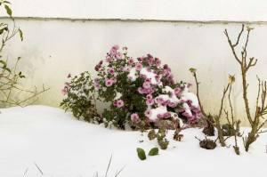 Chrysantheme im Schnee