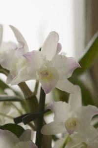 Dendrobium, weiß mit rosa Rand