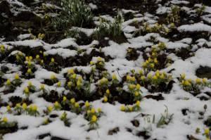 Winterlinge im Schnee