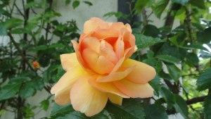 05.22.2015-Maigold-1