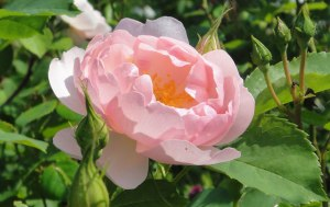 06.06.2015-Scepter--d'Isle-