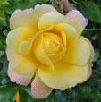 Rose-der-Hoffnung-mini